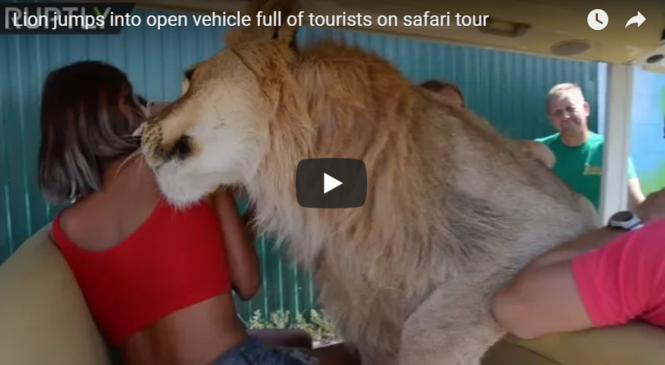 Lion jumps into open vehicle full of tourists on safari tour