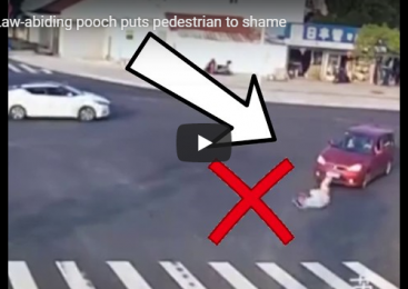 Law-abiding pooch puts pedestrian to shame