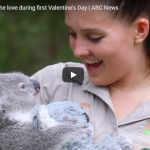 Koala joey feels the love during first Valentine's Day | ABC News